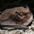 Alcathoe Bat