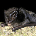 Barbastelle Bat