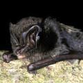 Barbastelle Bat