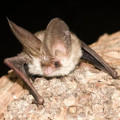 Brown Long Eared Bat