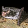 Daubentons Bat
