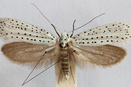 A ermine moth (Yponomeuta evonymella). The arrows indicate the tymbals. Image Credit: David Agassiz, Natural History Museum