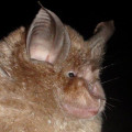 Greater-Horseshoe Bat