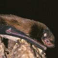Leislers Bat
