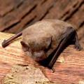 Nathusius Pipistrelle Bat