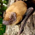 Noctule Bat
