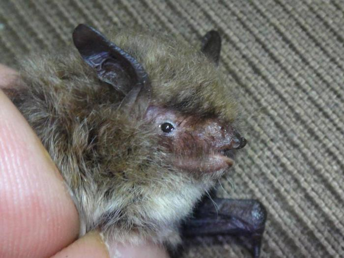 Alcathoe bat found in Cave near Bradford on Avon