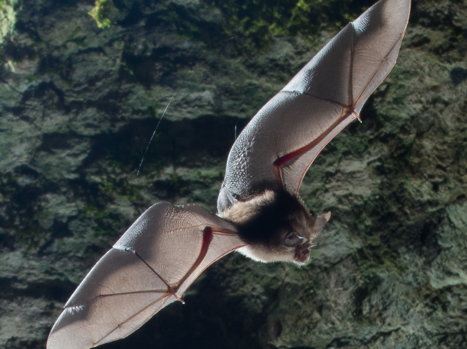 Bat at GB Gruffy3 - Lewis Hillier